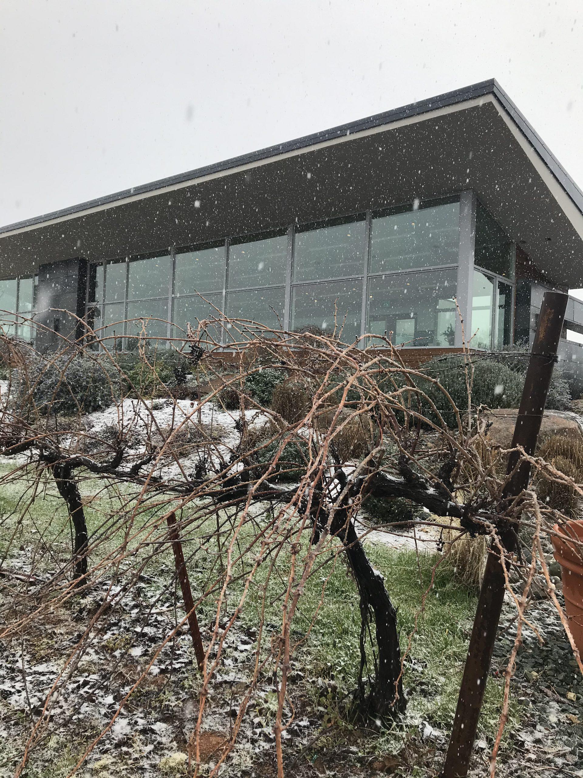 snowing in vineyard